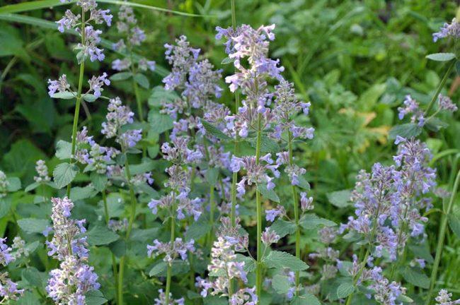 Котовник крупноцветковый (Nepeta grandiflora) «Summer Magic»