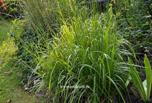 Молиния тростниковая (Molinia arundinacea) низкая