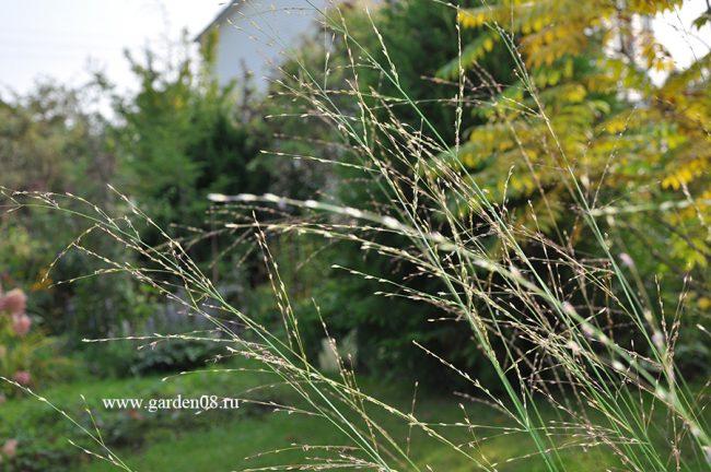 Молиния тростниковая (Molinia arundinacea) в конце сентября